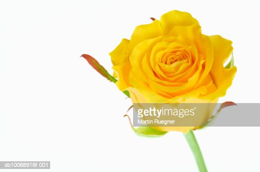 Yellow Rose Against White Background Stock Photo | Getty ...