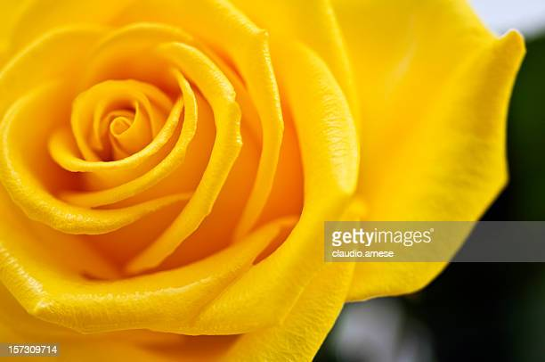 Yellow Rose. Color Image