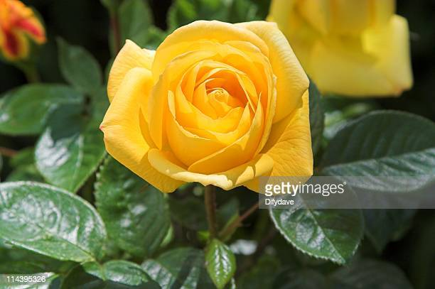 Yellow rose flower in bloom on rose plant