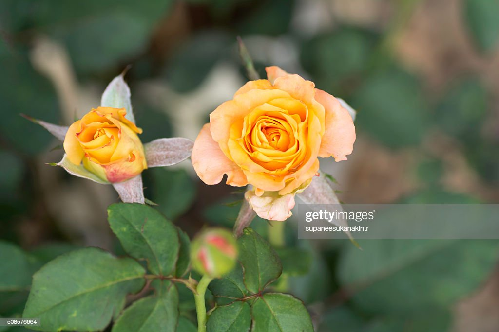 Yellow rose on blurred background . : Stock Photo