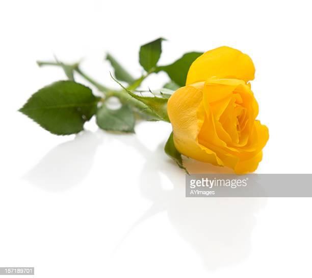 Gelbe rose auf weißem Hintergrund