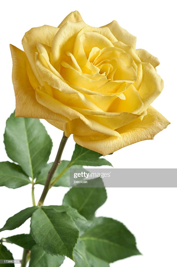 Yellow Rose On White Background Stock Photo | Getty Images