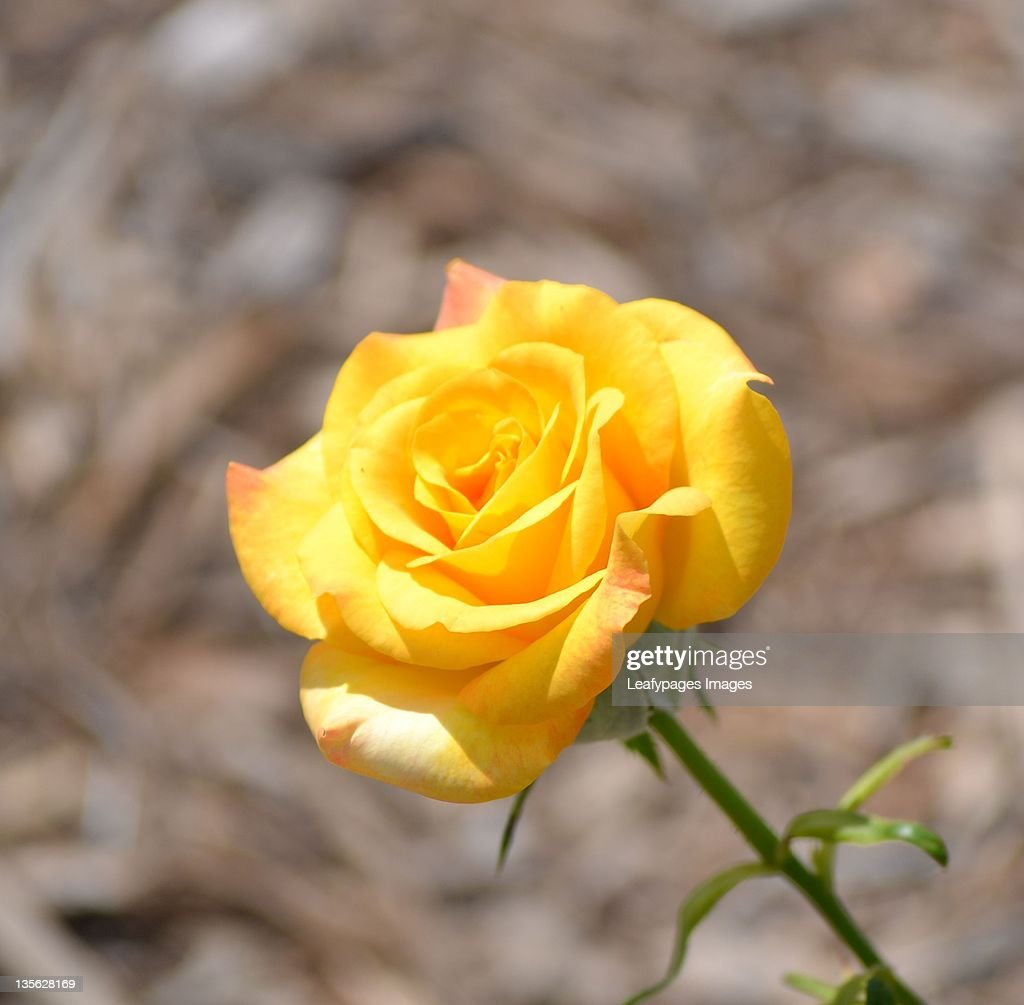 Yellow rose : Stock Photo