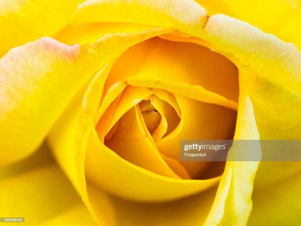 Rosa amarela : Foto de stock