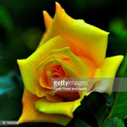 Yellow rose : Stock Photo