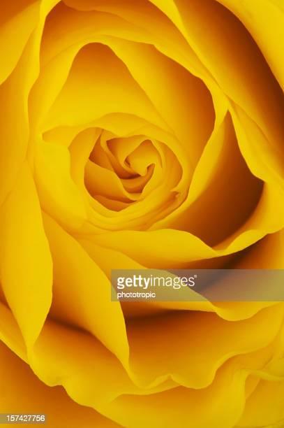 Yellow Rose up close