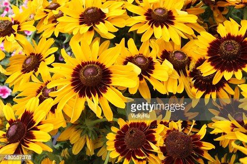 Yellow rudbeckia flowers (summer flowers) : Stock Photo