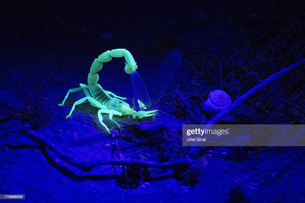 A Yellow Scorpion eats his prey as it glows in the dark on August 5, 2013 near Sde Boker in the Negev Desert, Israel. The Negev is second on a list of the world's top ten regional travel destinations for 2013.