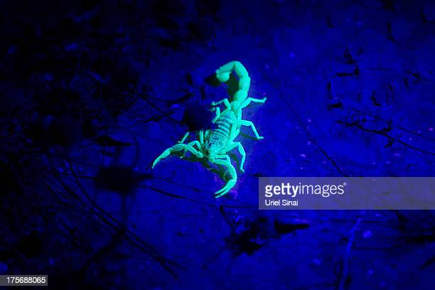 A Yellow scorpion glows in the dark on August 5 2013 near Sde Boker in the Negev Desert Israel The Negev is second on a list of the world's top ten...