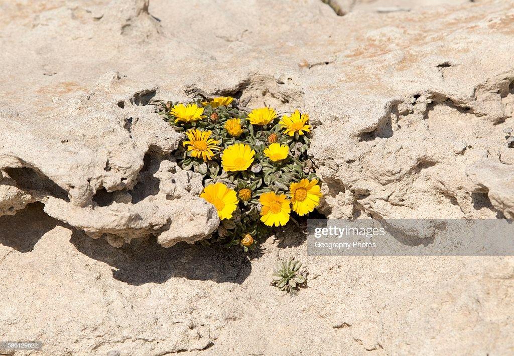 Yellow Sea Aster plant in flower Asteriscus maritimus Cabo de Gata natural park Almeria Spain