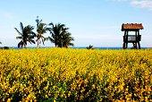 Yellow sea of Sunn Hemp