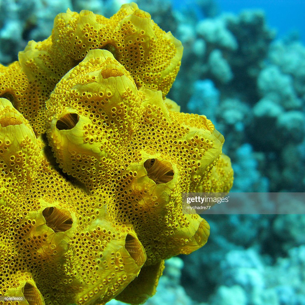 yellow sea sponge at the bottom of tropical sea , underwater : Stock Photo