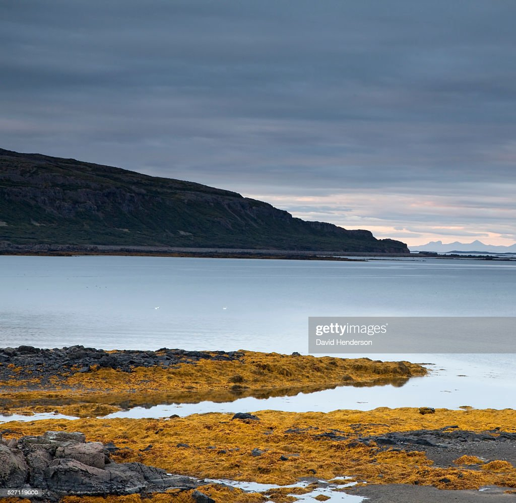 Yellow seaweed and fjord : Stock Photo