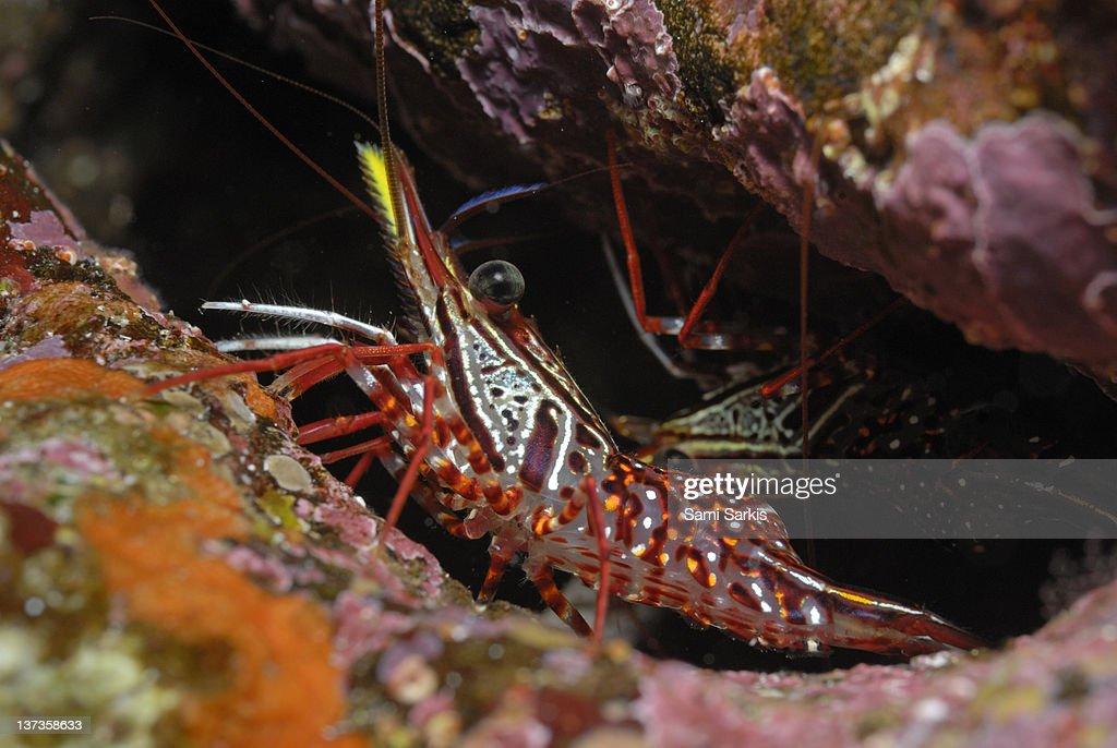 Yellow Snout Red Shrimp, close-up : Stock Photo