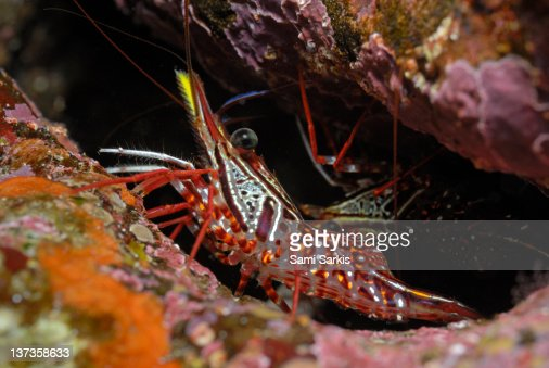Yellow Snout Red Shrimp, close-up : Stock Photo