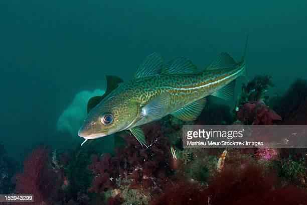 Yellow spotted Atlantic ocean cod (Gadus morhua), Strytan, Icland.