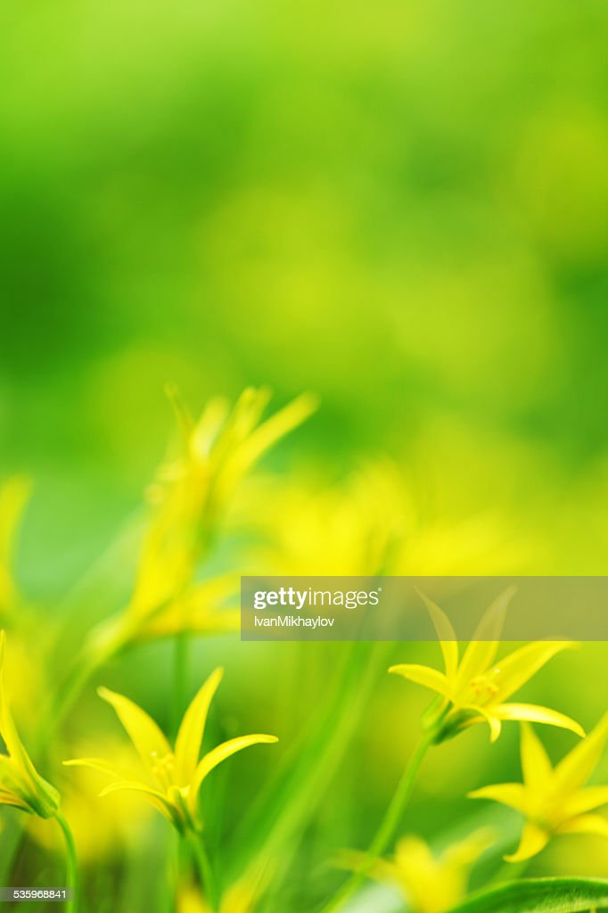yellow spring flowers : Stock Photo
