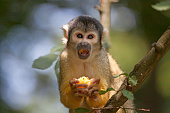 Eating squirrel monkey in apenheul park in Apeldoorn