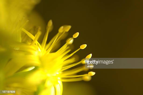 Yellow Stamens