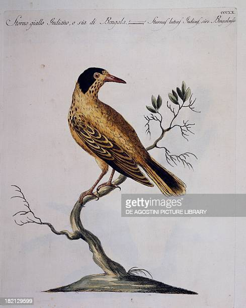 Yellow starling colour etching by Lorenzo Lorenzi and Violante Vanni from Natural History of Birds by Saverio Manetti Florence 17671776 Milan Museo...