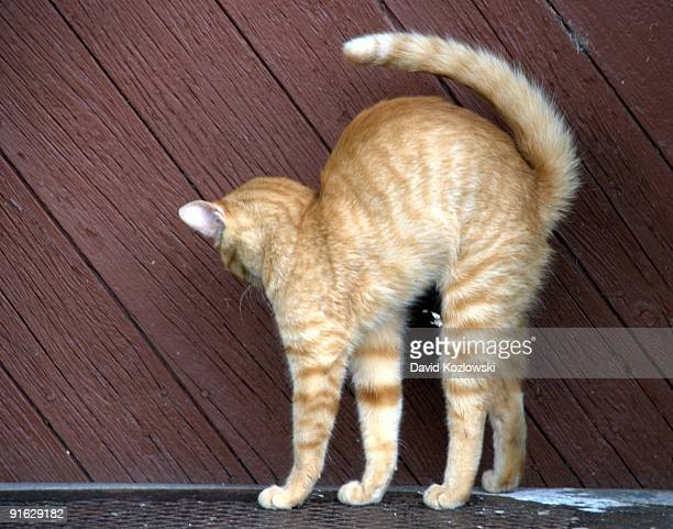 Yellow Striped Cat Arched
