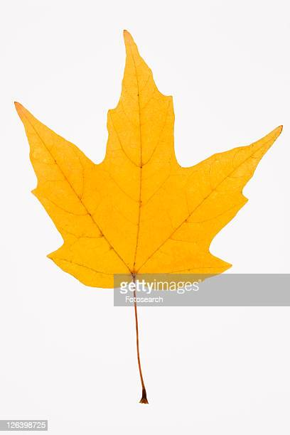 Yellow Sugar Maple leaf against white background.
