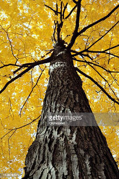 Yellow Sugar Maple Tree