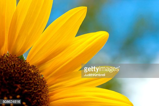 Yellow Sunflower Close-up with a Blue Sky : Stock Photo