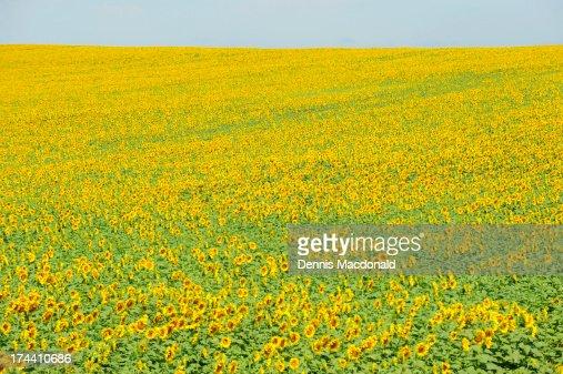 Yellow sunflower field : Stock Photo