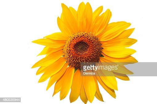 Gelbe Sonnenblume. ПОДСОЛНЕЧНИКА НА БЕЛОМ ФОНЕ : Stock-Foto