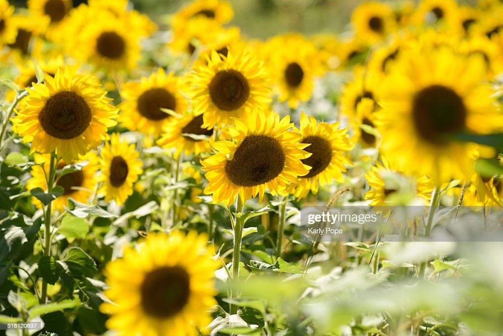 Yellow sunflowers in late summer