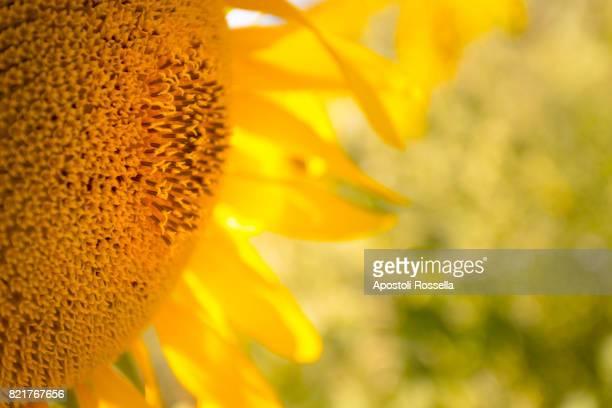 yellow sunflowers in Tuscany