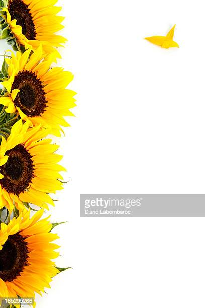 Yellow Sunflowers On White Vertical Stacked with Copy Space