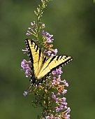 Yellow swallowtail butterfly on purple Flower