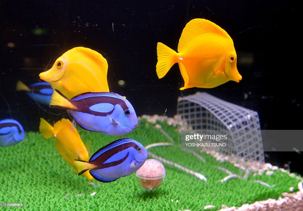 Yellow Tang and Blue Palett Surgeon fish take food from a fishbait packed ball (C) in a fishtank designed to resemble a football pitch at the Hakkeijima Sea Paradise aquarium in Yokohama, suburban Tokyo on June 15 June 20013 as part of a new attraction which will be displayed until the end of the Confederation Cup in Brazil. Japan (blue team color) will play against Brazil (yellow) in the opening match of the tournament on June 15 in Brazilia.