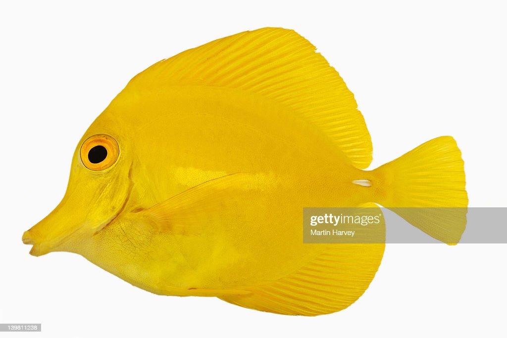 Yellow tang fish also known as yellow hawaiian tang yellow for Yellow tang fish