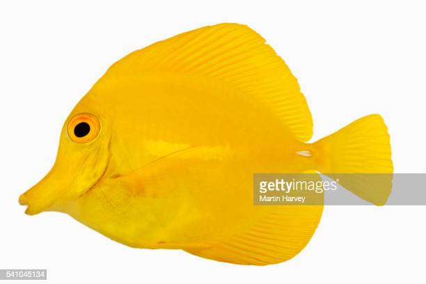 Yellow tang stock photos and pictures getty images for Yellow tang fish