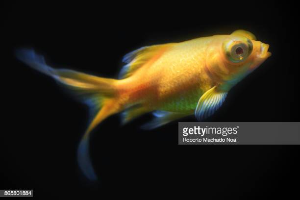 Yellow Telescope Goldfish swimming in a tank with a black background