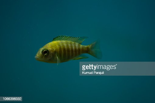 Yellow Tiger Like Small Cute Fish In Aquarium Stock Photo Thinkstock
