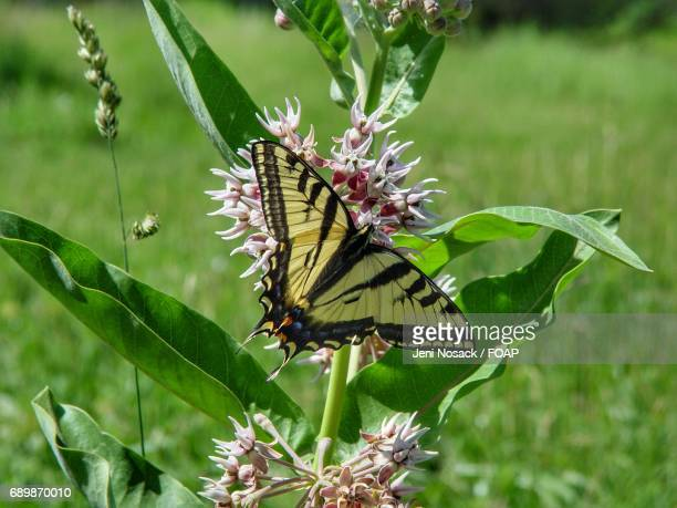 Yellow tiger swallowtail butterfly on plant
