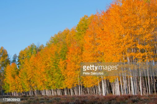 Yellow trees in rural landscape
