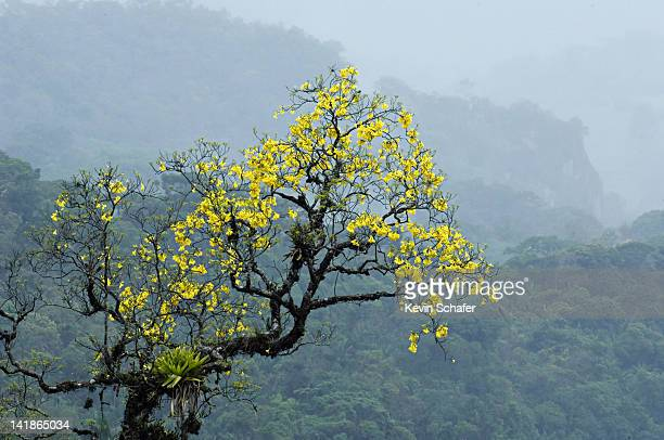 Yellow Trumpet Tree or Ype (Tabebuia chrysotricha). Itatiaia National Park, Southeast Brazil