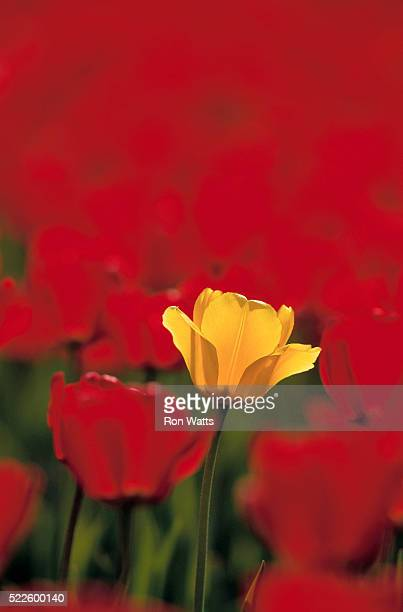 Yellow Tulip Amid Field of Red Tulips