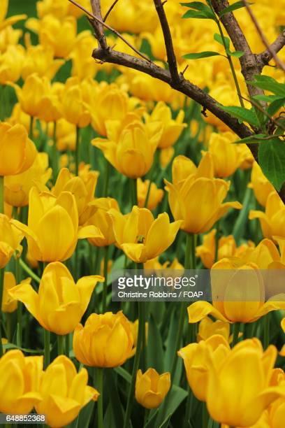 Yellow tulips flower growing in field