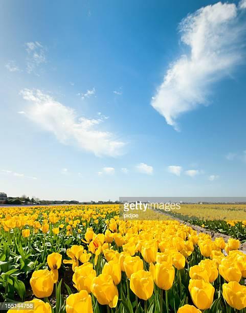yellow tulips in flower field