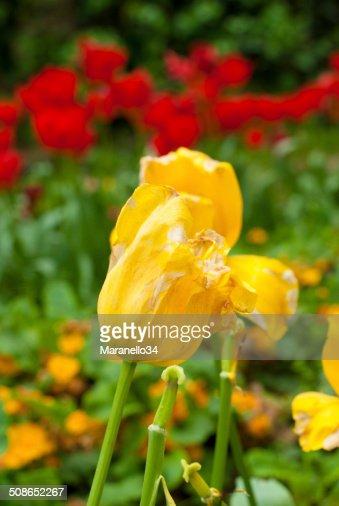 Yellow Tulips : Stock Photo