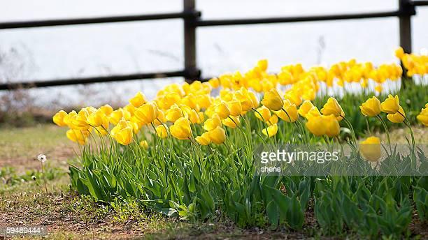 Yellow tulips scenery