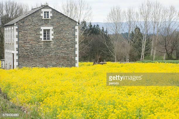 Yellow turnip flowers field surrounding stone cottage.
