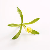 Yellow vanilla flower with green leaves