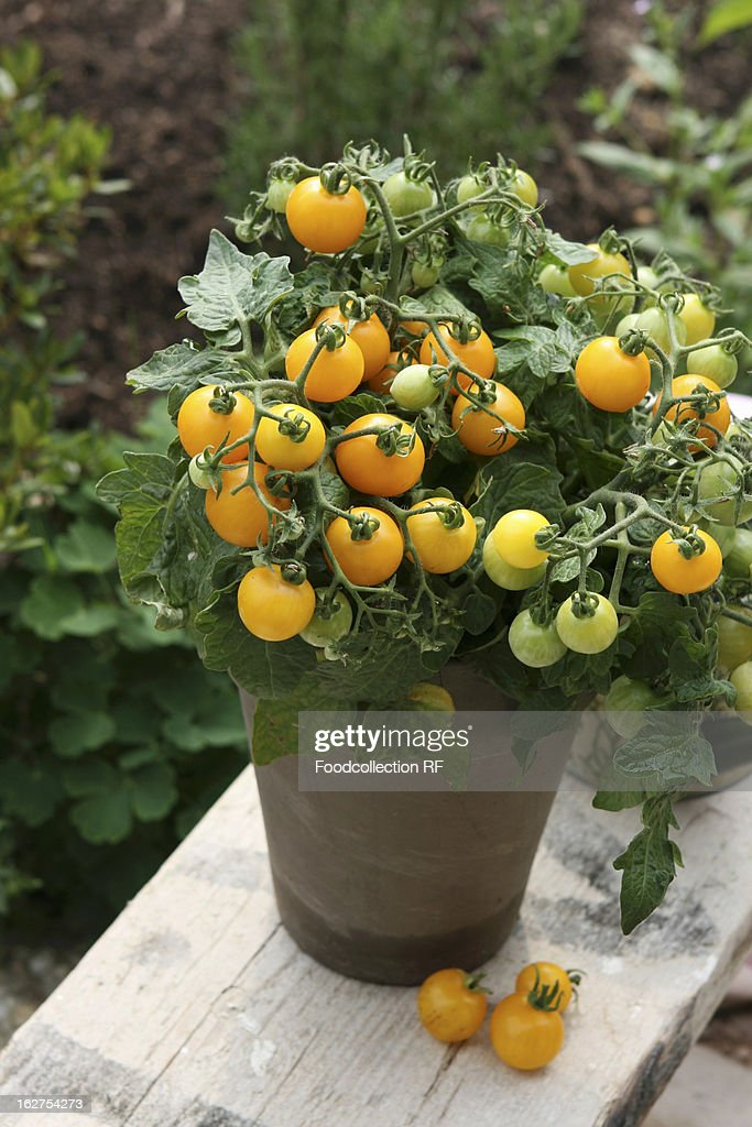 Yellow vine tomatoes in pot in garden
